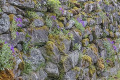 Photo of Flowers in the wall Stormontfield Perthshire Scotland