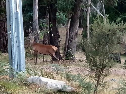 One-antlered deer in Halls Gap