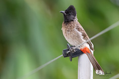 A Bored Red-Vented Bulbul in the evening