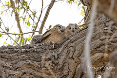 May 8, 2021 - Great horned owl owlets hunker down against the wind. (Tony's Takes)