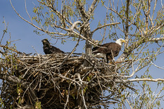 May 8, 2021 - A bald eagle eaglet and its father hang out. (Tony's Takes)