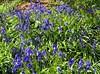 Pretty Bluebells...