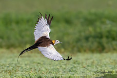 A Mature Pheasant Tailed Jacana in Action