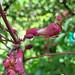 Buckeye blossom