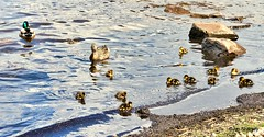 Photo of duck family on Loch Lomond