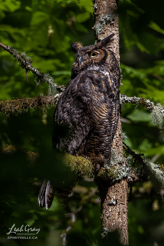 """Great Horned Owl • <a style=""""font-size:0.8em;"""" href=""""http://www.flickr.com/photos/106269596@N05/51172497105/"""" target=""""_blank"""">View on Flickr</a>"""