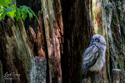 """Great Horned Owlet • <a style=""""font-size:0.8em;"""" href=""""http://www.flickr.com/photos/106269596@N05/51172900961/"""" target=""""_blank"""">View on Flickr</a>"""