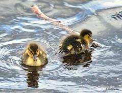 Photo of ducklings on Loch Lomond