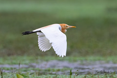 A Cattle Egret flying over the near dry lake