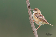 A Zitting Cisticola in the morning mist