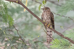 Cuckoo Season is Here - The Brainfever bird