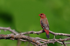 Oil Painting Effect - A Red Avadavat on a beautiful perch