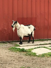 """Pickles the Goat May 2021 • <a style=""""font-size:0.8em;"""" href=""""http://www.flickr.com/photos/72892197@N03/51178062849/"""" target=""""_blank"""">View on Flickr</a>"""
