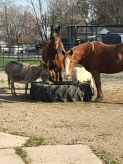 """Millie the donkey, Maverick, Benny, and Pickles the goat • <a style=""""font-size:0.8em;"""" href=""""http://www.flickr.com/photos/72892197@N03/51178062864/"""" target=""""_blank"""">View on Flickr</a>"""