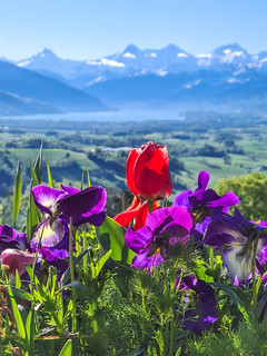 Blumen Berner Oberland
