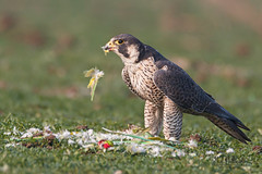 A Peregrine Falcon snacking on an Indian Parrot