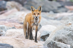 May 16, 2021 - Red fox being wary. (Tony's Takes)