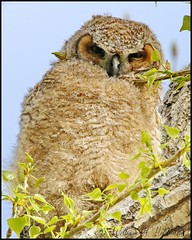 May 15, 2021 - A great horned owl owlet. (Bill Hutchinson)