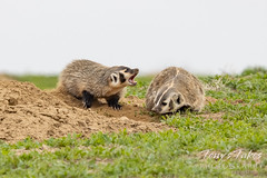 May 15, 2021 - Badger cub trying to play with mom. (Tony's Takes)