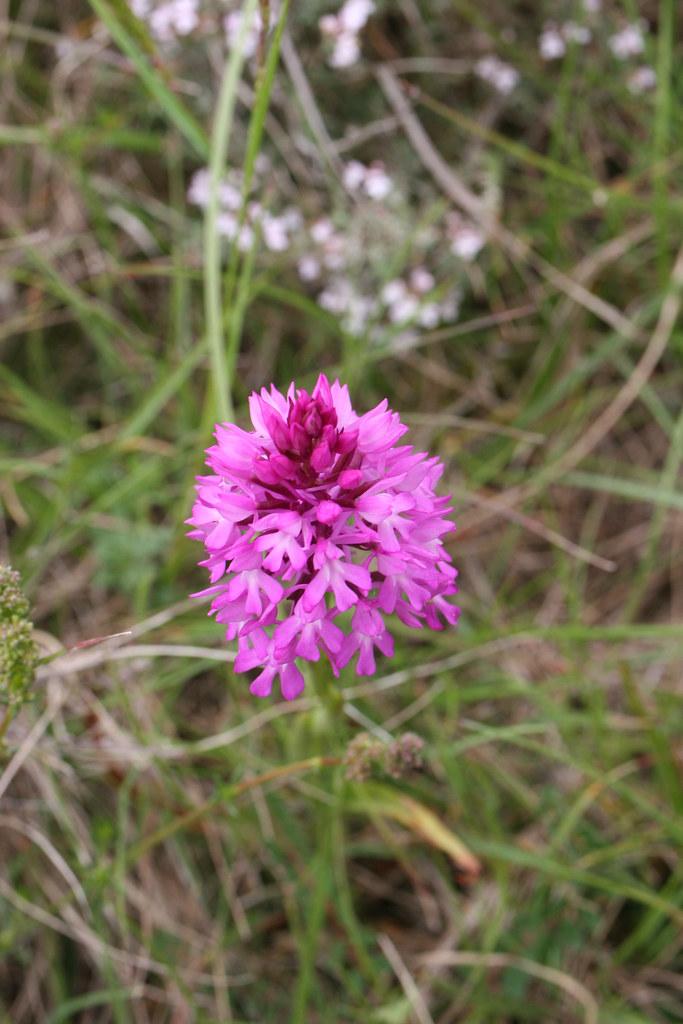 ophrys pyramidalis