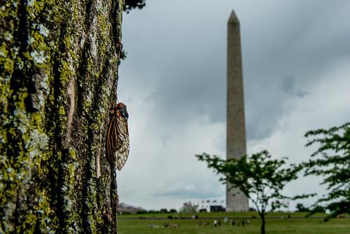 Cicada, National Mall