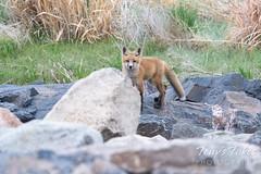 May 16, 2021 - A fox kit keeps watch. (Tony's Takes)