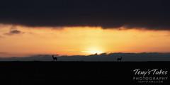May 15, 2021 - Deer at sunrise. (Tony's Takes)