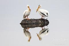 May 16, 2021 - Reflecting pair of pelicans. (Tony's Takes)