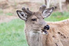 May 16, 2021 - Mule deer buck starting to grow its antlers. (Tony's Takes)
