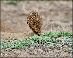 May 16, 2021 - A grouchy looking burrowing owl. (Bill Hutchinson)