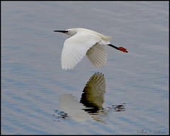 May 9, 2021 - Snowy egret in flight. (Bill Hutchinson)