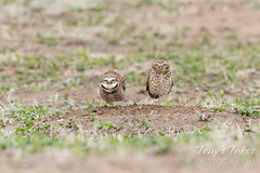 May 9, 2021 - Burrowing owl couple in Adams County. (Tony's Takes)