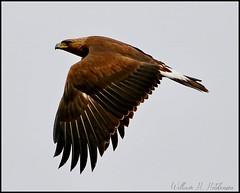 May 9, 2021 - Golden eagle takes flight. (Bill Hutchinson)