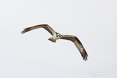 May 9, 2021 - Osprey flyby in Adams County. (Tony's Takes)
