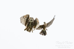 May 11, 2021 - A great horned owl and Cooper's hawk have a fight. (Tony's Takes)