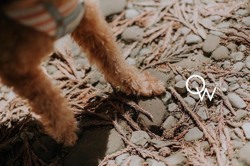 Anita俐婷,婚攝,寵物婚紗,寵物寫真,自主婚紗,自助婚紗,婚紗攝影,The Ring 樂林婚紗 法式手工蕾絲,東安古橋,紅貴賓,狗 ,橘子白,攝影工作室,優質推薦,雙北