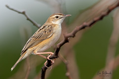 A Zitting Cisticola looking for food