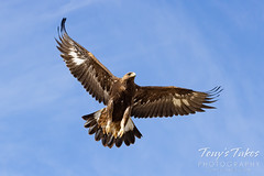 Young golden eagle takes flight