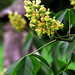 "Cincinnati - Spring Grove Cemetery & Arboretum ""Ohio Buckeye Tree Flower At Family Plot"""