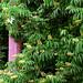 """Cincinnati - Spring Grove Cemetery & Arboretum """"Obelisk At The Buckeye Tree"""""""