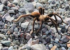 Western desert tarantula