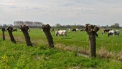 Cowscape