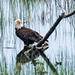 Eagle in water