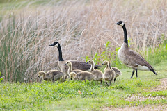 May 22, 2021 - Goose family out for a walk. (Tony's Takes)