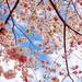 Sakura Pink Cherry Blossoms Branches Blue Sky