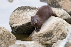 May 23, 2021 - A very cute mink. (Tony's Takes)