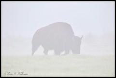 May 18, 2021 - A foggy morning bison. (Bill Hutchinson)