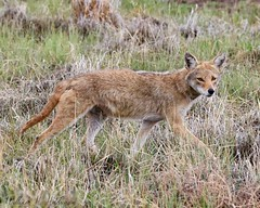 May 18, 2021 - Coyote on the prowl. (Bill Hutchinson)
