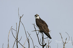 May 23, 2021 - An osprey looking mad. (Tony's Takes)