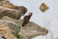 American mink gives a nice, parting capture